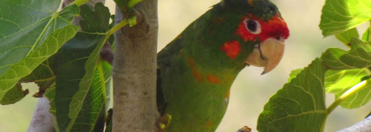 Mitred Parakeet camino inca