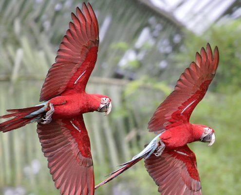 Guacamayo en el parque nacional manu