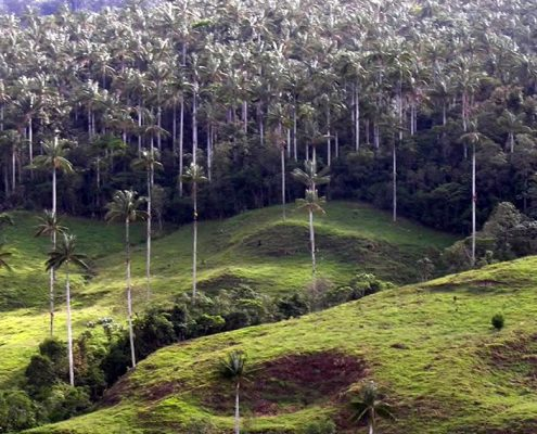 Cajamarca Bosque de Palmeras